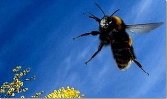 bumblebee flying2