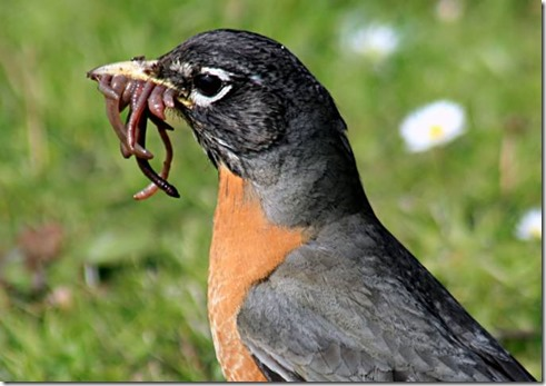 Robin Eating Worms smaller