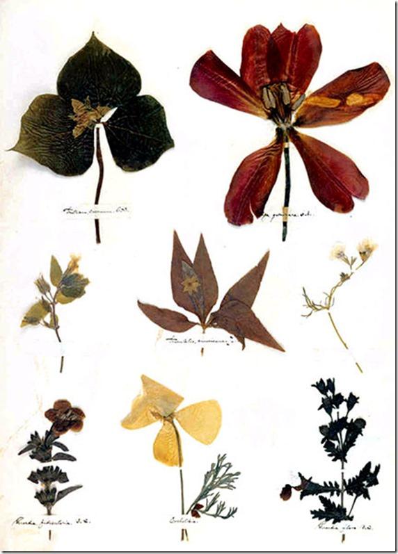 Emily Dickinson Herbarium page