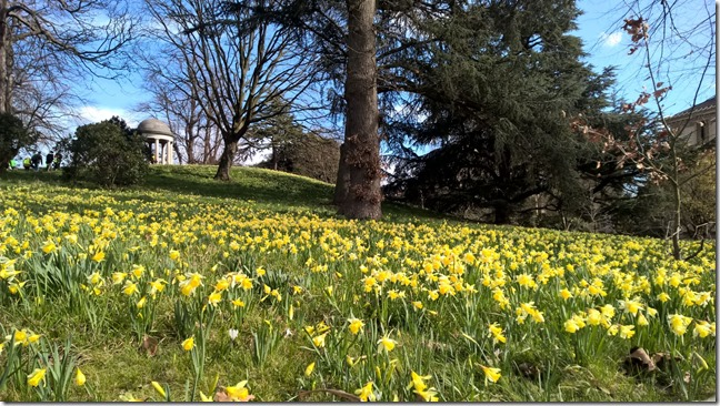 Daffodils at Kew Gardens