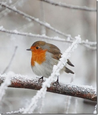 English Robin in Winter