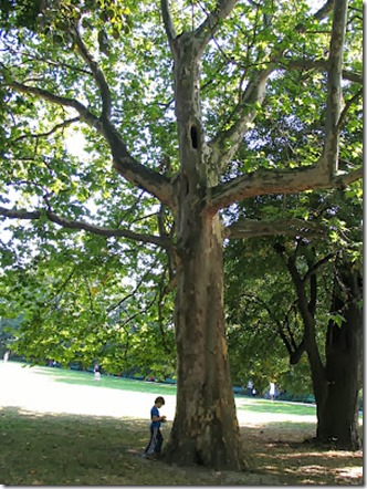 A Plane Tree in London
