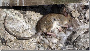 rat carcass