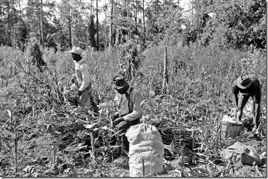 Negro sharecropper and two wagehands shucking corn for the landlord, a white woman. On road to Cedar Grove, west of highway No. 14, Orange County, North Carolina, Sept 1939