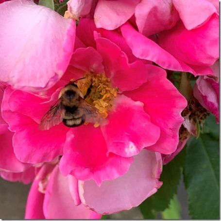 Bee in Flower by Heidi Randen