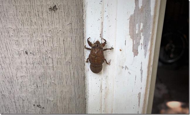 Cicada Molt 1024
